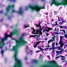 Reminiscent Lilac